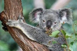A cute koala chews on eucalyptus leaves